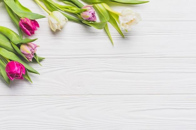 Tulipas bonitas em branco