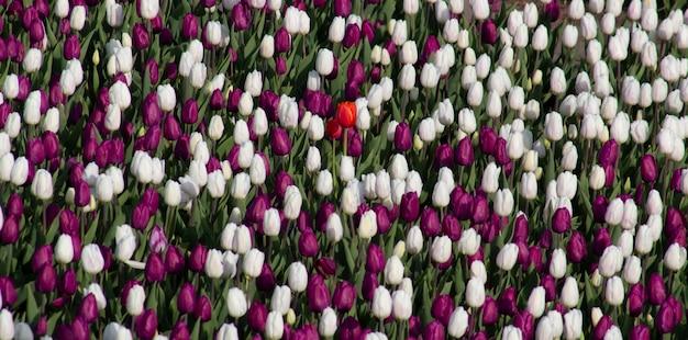 Tulipas brancas e vermelhas, fundo de flores desabrochando no campo.