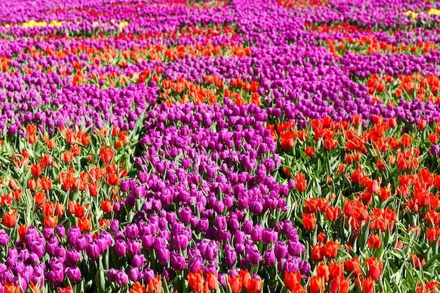 Tulipas coloridas em um parque de primavera