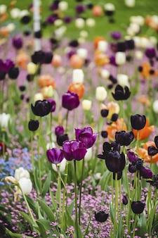 Tulipas coloridas no jardim botânico vandusen sob a luz do sol em vancouver, canadá