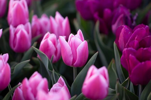 Tulipas cor de rosa crescendo no jardim. fundo de flores da primavera.