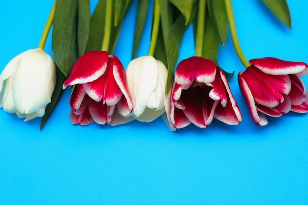 Tulipas cor de rosa e brancas mentem em uma fileira sobre um fundo azul. o conceito do feriado em 8 de março. dia dos namorados. um cartão de felicitações. folhas verdes suculentas.