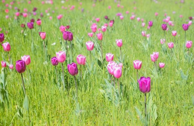 Tulipas cor de rosa e roxas no jardim primavera, superfície da primavera