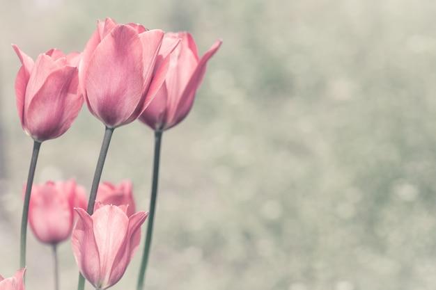 Tulipas cor de rosa em um jardim.