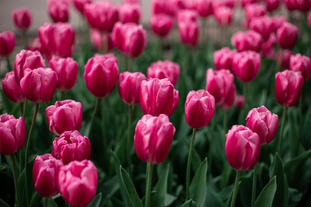Tulipas cor de rosa florescendo em um campo