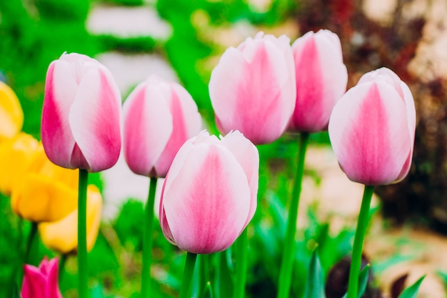 Tulipas cor-de-rosa que florescem no jardim.