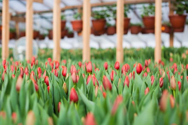 Tulipas cultivadas em estufa, flores naturais, plantas varietais