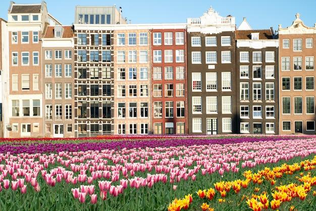 Tulipas e fachadas holandesas de casas velhas em amsterdão, países baixos.