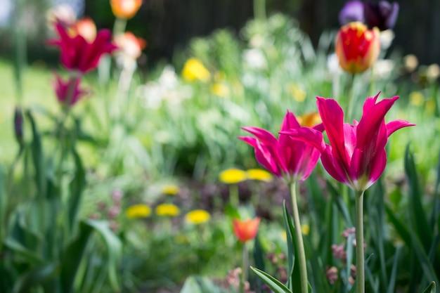 Tulipas e outras flores na primavera jardim rural como pano de fundo floral. foco suave.