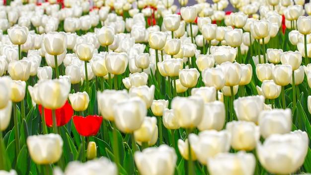 Tulipas florescendo. fundo lindo de primavera e verão. flores da primavera.