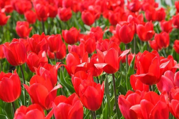 Tulipas florescendo. fundo lindo de primavera e verão.
