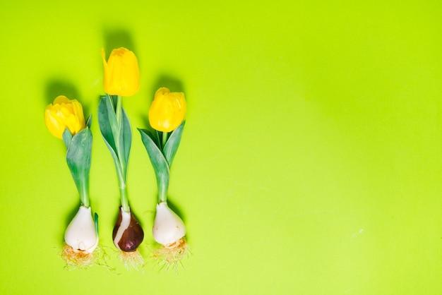 Tulipas frescas com lâmpada em fundo verde