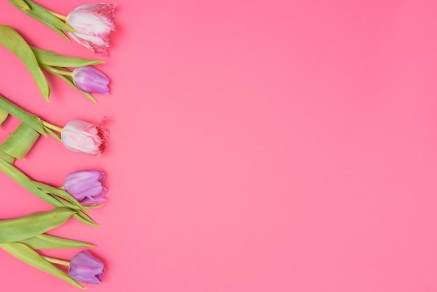Tulipas frescas da primavera em um fundo rosa