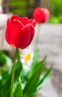 Tulipas na primavera