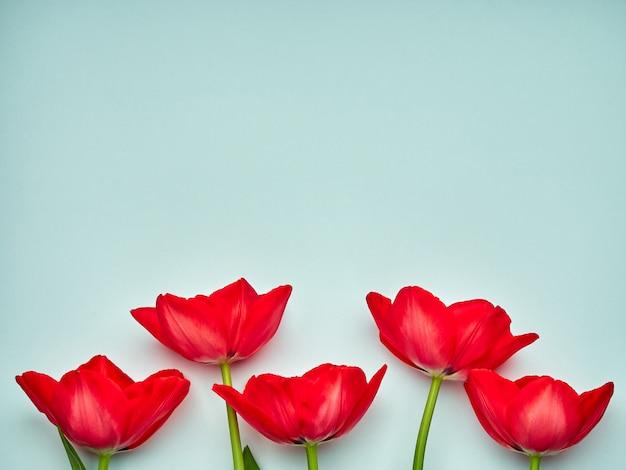 Tulipas primavera vermelho sobre fundo azul, espaço de cópia do dia da mulher