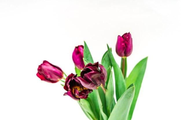 Tulipas roxas em um vaso em um fundo branco e isolado. composição de flores e conceito de primavera
