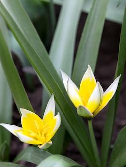Tulipas selvagens amarelas de florescência no canteiro de flores.