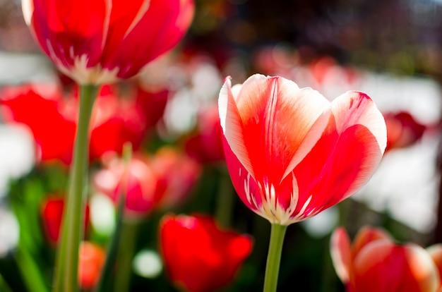 Tulipas vermelhas em um fundo floral suave