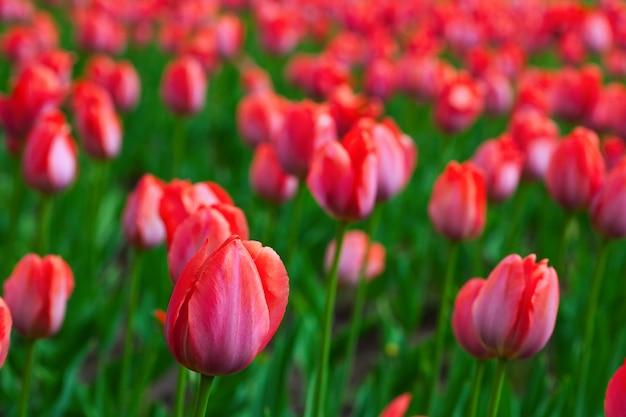 Tulipas vermelhas na primavera