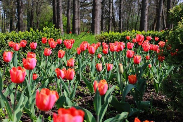 Tulipas vermelhas no parque primavera