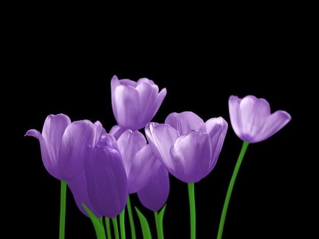 Tulipas violetas isoladas em um fundo preto