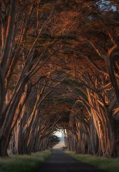 Túnel da árvore de cipreste em point reyes