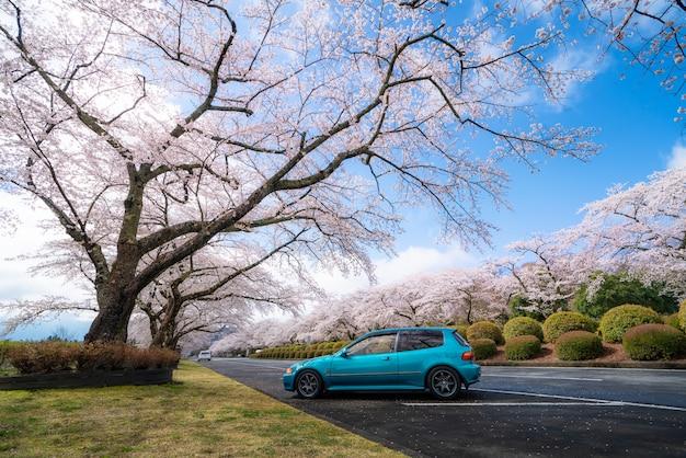 Túnel da flor de cerejeira durante a primavera em abril, nos dois lados da rodovia da prefeitura