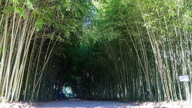 Túnel de bambu em arboretum of sukhum, abkhazia.