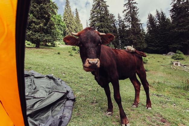 Turismo, montanhas, estilo de vida, natureza, conceito de animais - pastagem de montanha com vacas. o sangue nas montanhas. paisagem de verão nas montanhas com uma vaca. noite quente de verão.