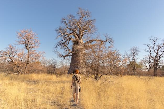Turista andando na savana africana em direção a enorme planta de baobab