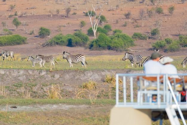 Turista assistindo o rebanho de zebras pastando no mato. cruzeiro de barco e safari da vida selvagem no rio chobe, fronteira com a namíbia botswana, áfrica