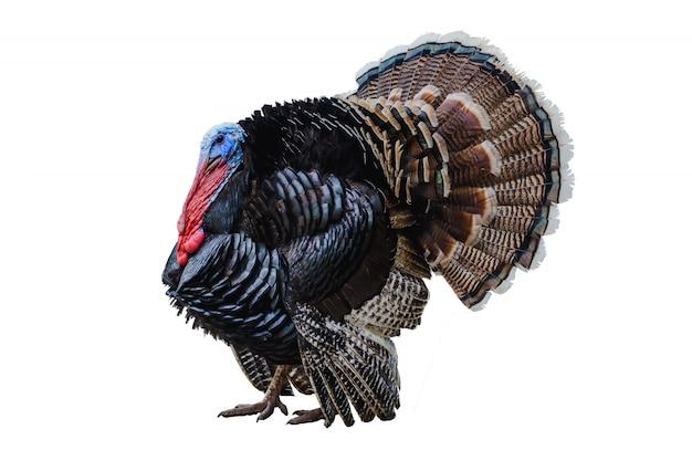 Turquia em um branco