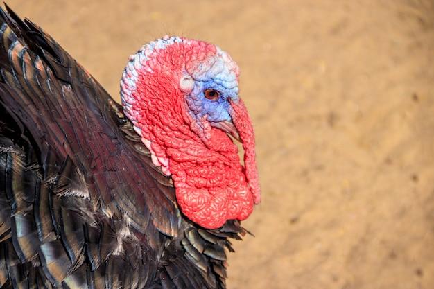 Turquia no zoológico. aves domésticas. gado. animal em cativeiro.