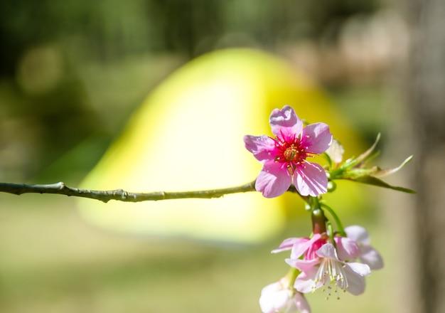 Turva de flor de cerasoides prunus com tenda amarela para fundo de campismo