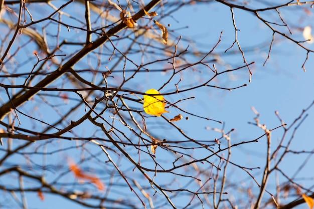 Últimas folhas amarelas no topo da árvore na temporada de outono