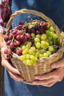 Último homem segurando nas mãos a colheita das uvas