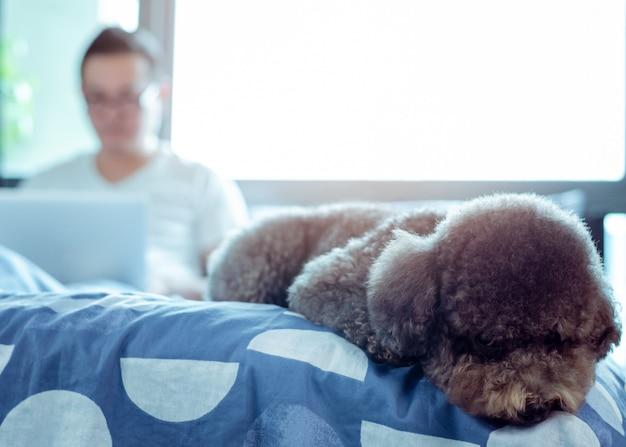 Um adorável cão poodle preto deitado na cama e esperando para jogar