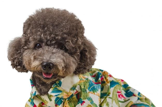 Um adorável cão poodle preto vestindo camisa havaiana