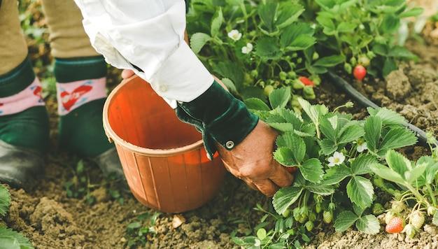Um agricultor alimentando e colhendo morangos na plantação