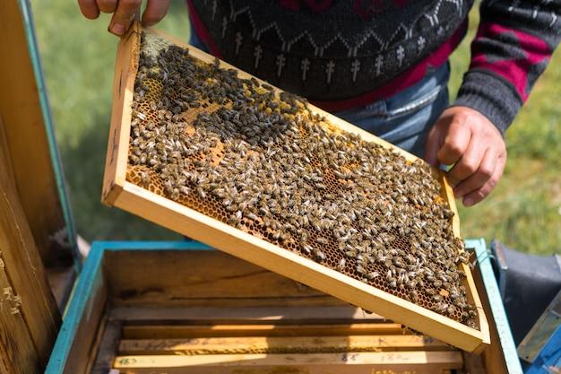 Um agricultor em um apiário apiário segura quadros com favos de mel de cera preparação para a coleta de mel