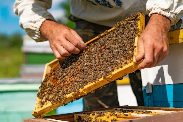 Um apicultor endireita o favo de mel no quadro com as abelhas acima da colmeia.