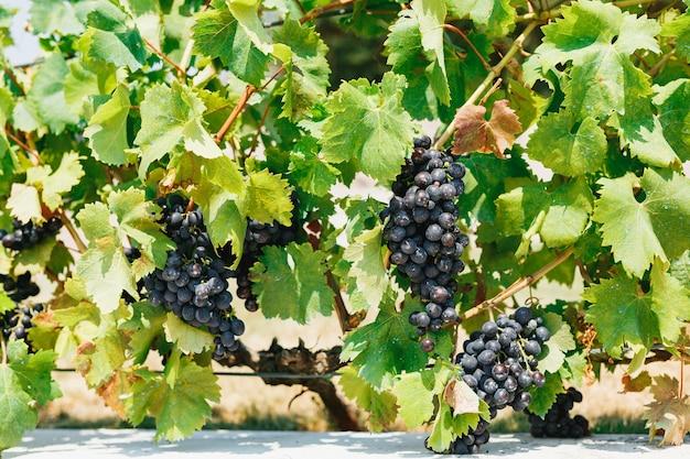 Um arbusto com cachos de uvas maduras azuis em folhas verdes ao sol