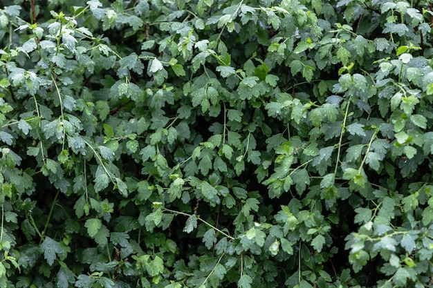 Um arbusto com folhagem verde luxuriante brilhante na chuva com grandes gotas de água.
