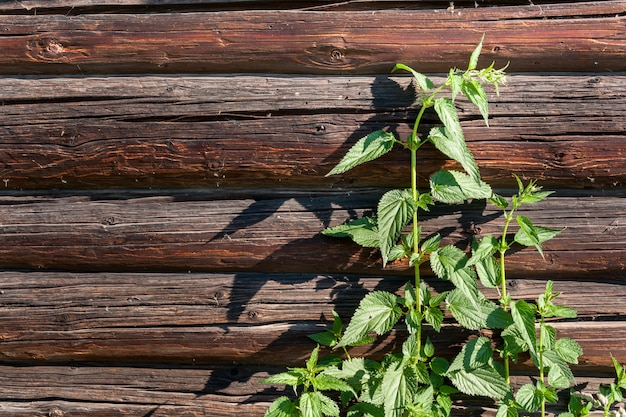 Um arbusto da provocação verde na parede de madeira do registro.