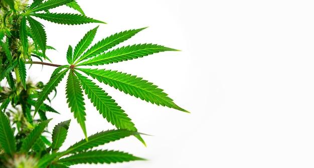 Um arbusto de cannabis em uma luz brilhante com um fundo branco. as folhas de maconha medicinal da variedade jack herer são um híbrido de sativa e indica.