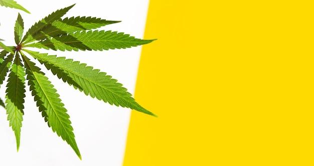 Um arbusto de cannabis em uma luz brilhante com um fundo branco e amarelo com uma sombra. as folhas de maconha medicinal da variedade jack herer são um híbrido de sativa e indica. cultivar uma planta doméstica