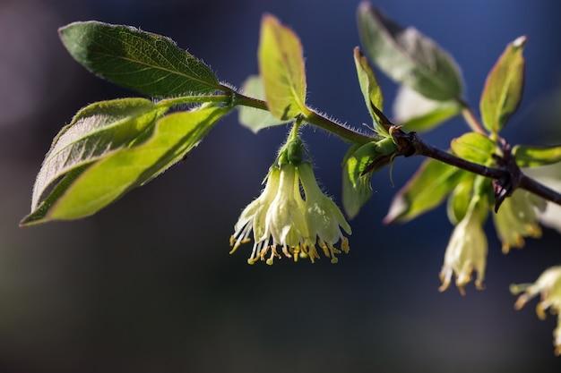 Um arbusto de madressilva em flor em um dia de primavera