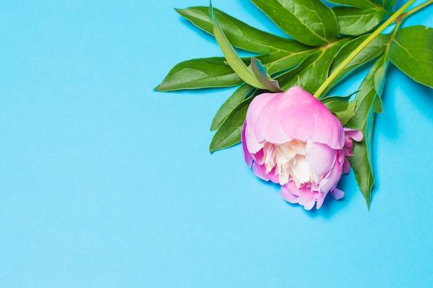 Um arbusto de peônias rosa em azul