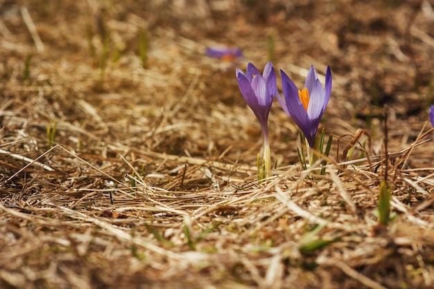 Um arbusto de várias flores de açafrão que floresce entre a grama seca. flores silvestres, prímula. fechar-se