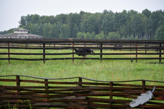 Um avestruz corre ao redor de uma fazenda de avestruzes na chuva.